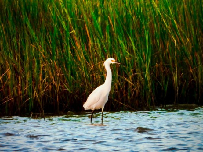 Egret on Smith Island, Maryland