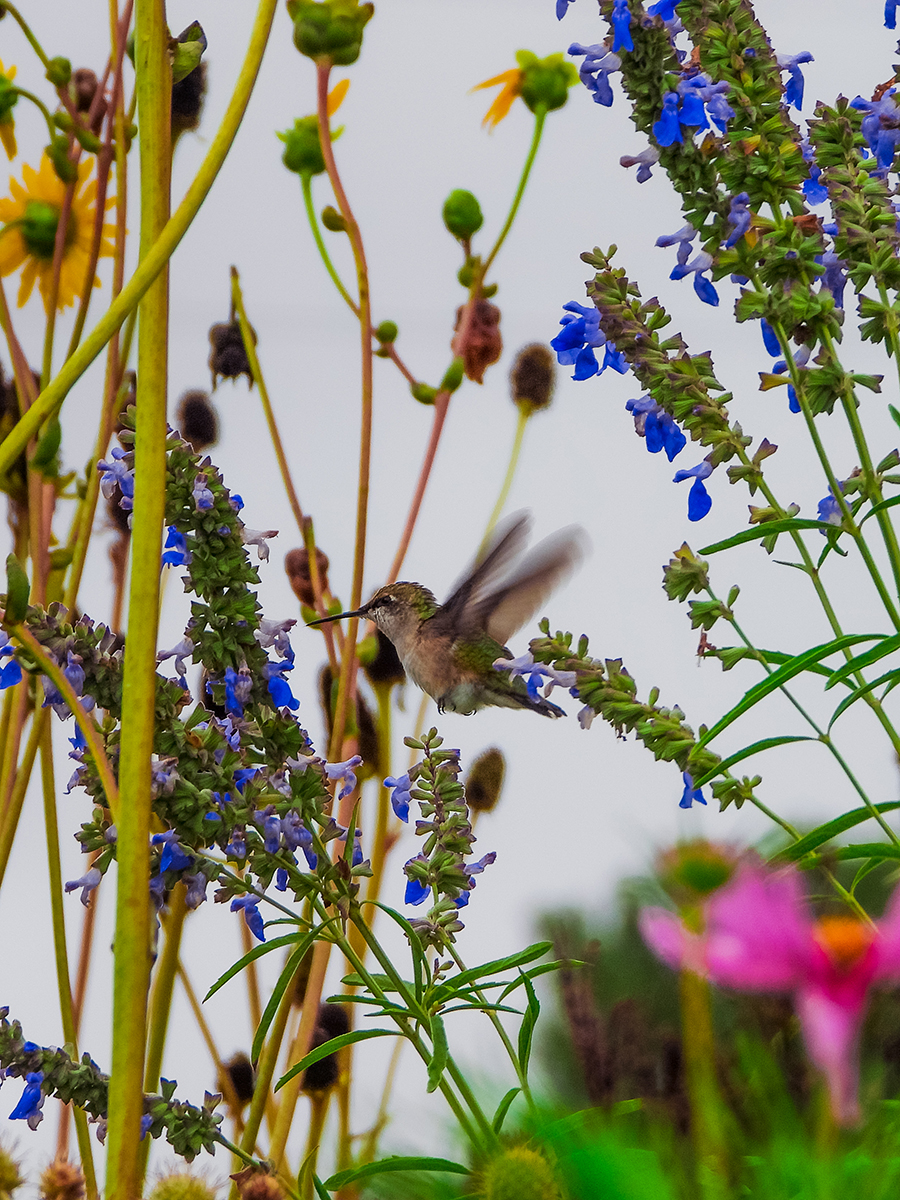 Hummingbird at Lauritzen Gardens