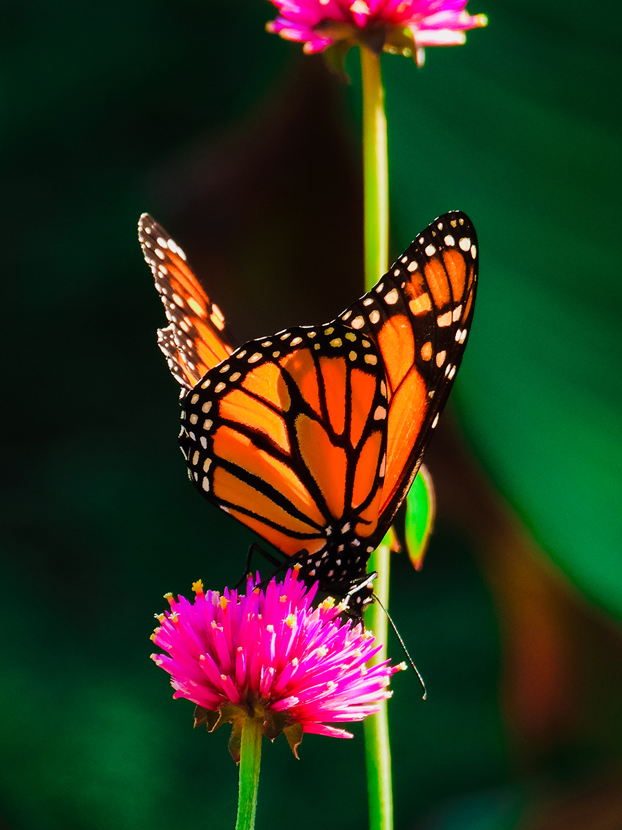 Sunken Gardens butterfly in Lincoln, Nebraska