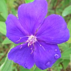 purpleflowerC