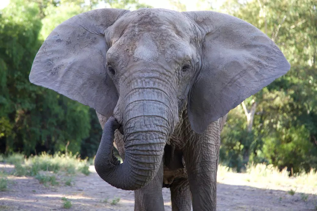 Considerably large ears help the animal radiate excess heat. Basic Facts About Elephants Global Sanctuary For Elephants