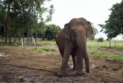 Maia at the circus farm before rescue