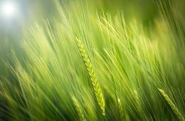 photo of wheat