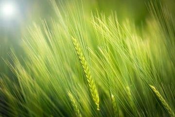 photo de blé