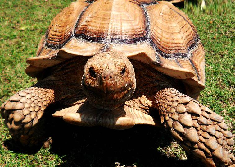 Tortoise African Spur Thigh