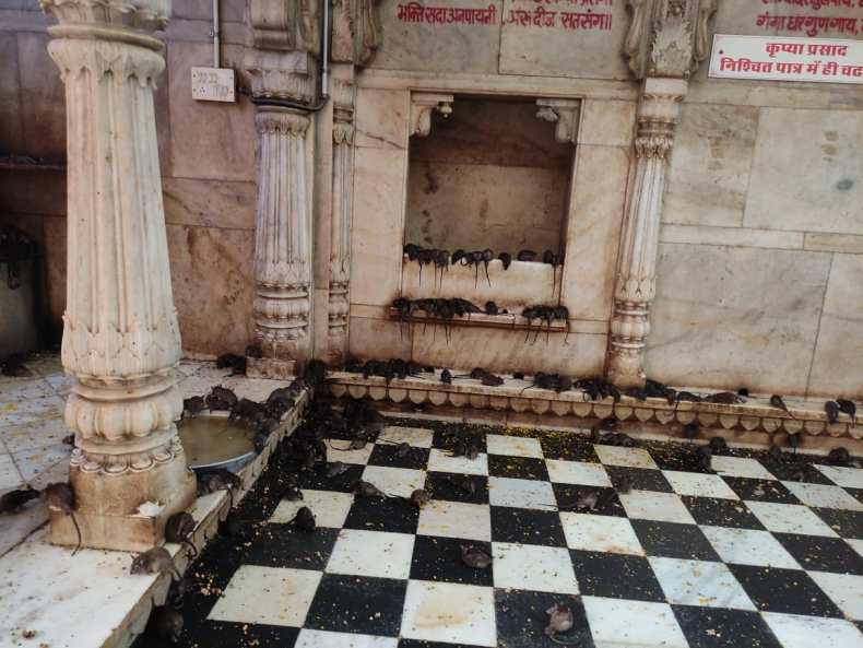 Karni Mata Rat Temple in Bikaner, India