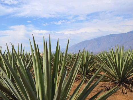 farmers want to plant one billion agaves to store carbon
