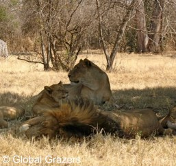 Lion Family, Gauteng Province, South Africa