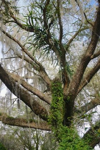 Leu Gardens Tree