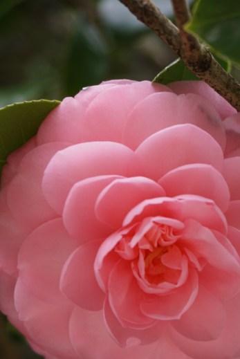 Leu Gardens Camellia Pink