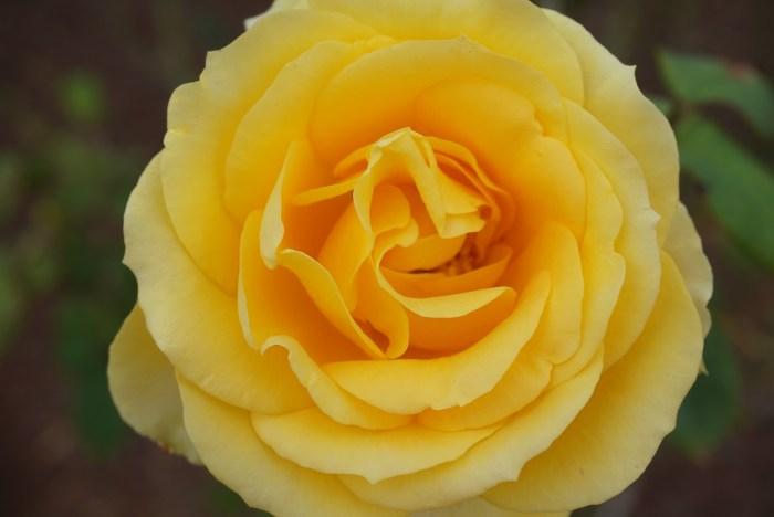 Leu Gardens Yellow Rose
