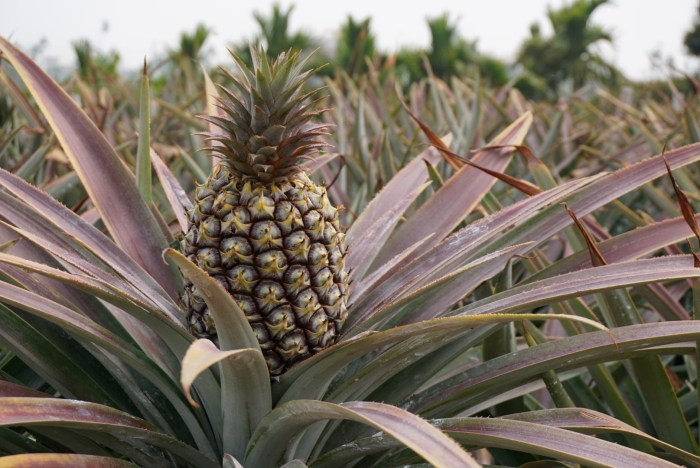 Taiwan Pineapple Farm