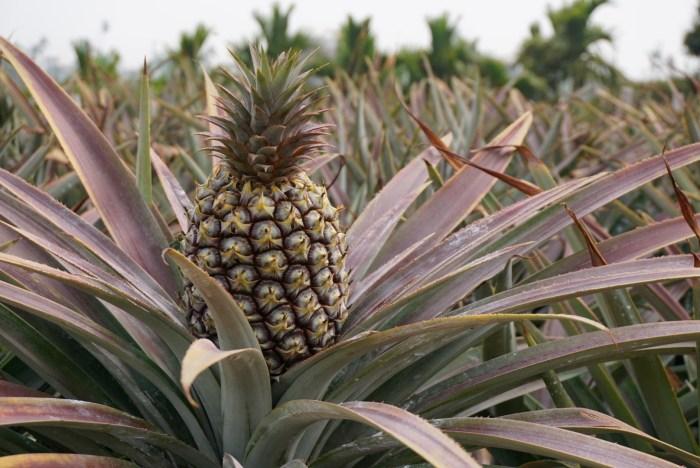 Taiwan Pineapple Farm