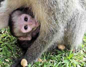 Volunteer in South Africa With The Vervet Monkey Foundation