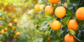 4 Steps to help an Orange Tree Produce Sweet Oranges