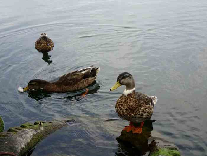 ducks on Tatzeburg lake