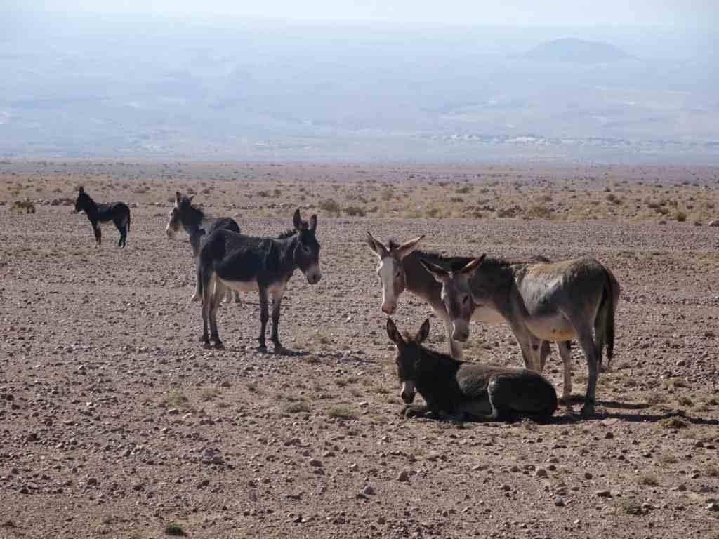 Wild donkeys in the Atacama