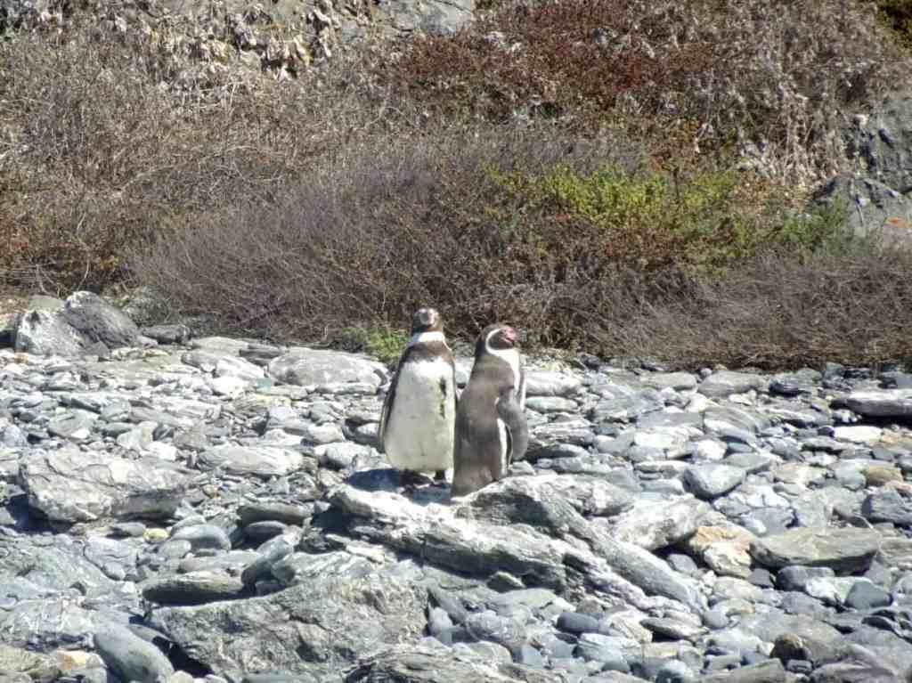 Isla Damas Penguins