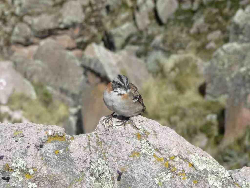 Bird in Copacabana Bolivia