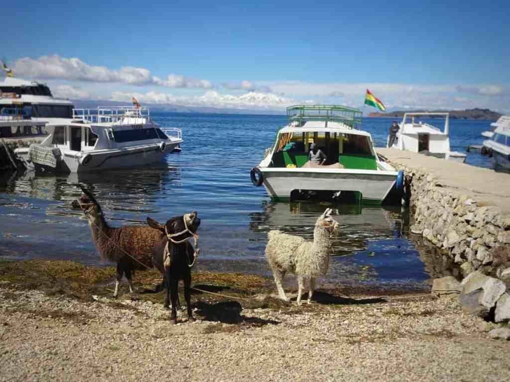 Llamas at the harbour on Isla del Sol Bolivia