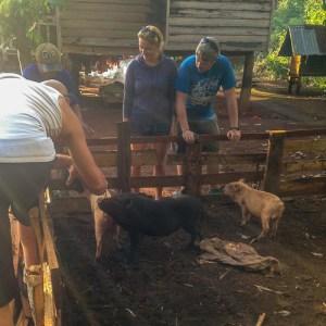 Pigs get fed cassava