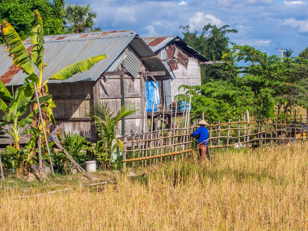 Rice Harvest -17