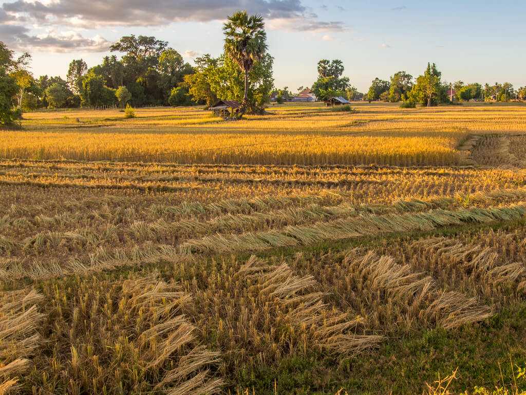 Rice Harvest -7