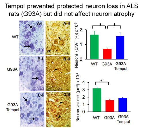 Tempol moderately extends survival in a hSOD1(G93A) ALS rat model by inhibiting neuronal cell loss