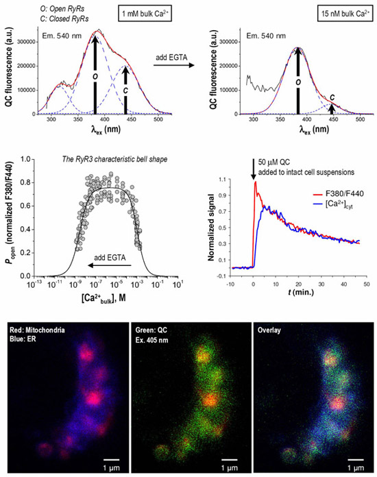 Quercetin as a fluorescent probe for the ryanodine receptor activity in Jurkat cells