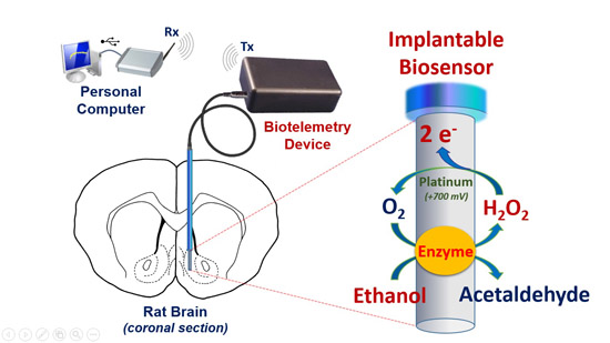 Development and Characterization of an Implantable Biosensor for Telemetric Monitoring of Ethanol in the Brain of Freely Moving Rats- Global Medical Discovery