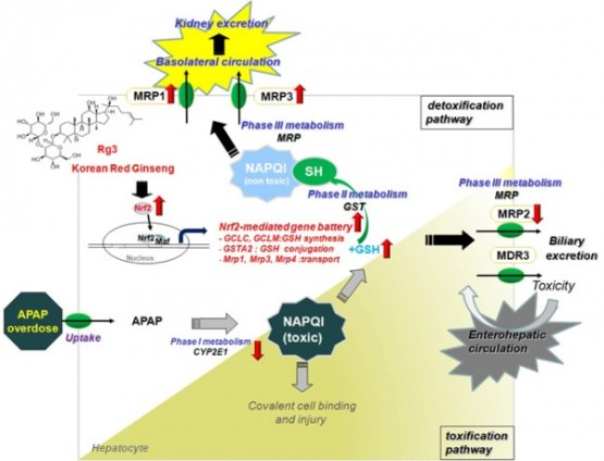 The amelioration of N-acetyl-p-benzoquinone imine toxicity by ginsenoside Rg3: the role of Nrf2-mediated detoxification and Mrp1/Mrp3 transports- Global Medical Discovery
