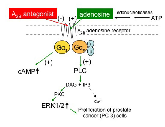 A2B adenosine receptor blockade inhibits growth of prostate cancer cells-Global Medical Discovery