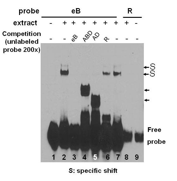 Exon B of human surfactant protein A2 mRNA, alone or within its surrounding sequences interacts with 14-3-3; role of cis elements and secondary structure
