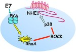Role of pHi, and proton transporters in oncogene-driven neoplastic transformation