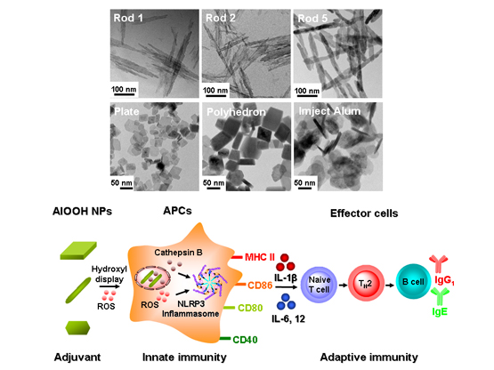 Engineering Effective Immune Adjuvant by Designed Control of Shape Crystallinity of Aluminum Oxyhydroxide Nanoparticles- global medical discovery