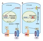 Integrin {Alpha}6A splice variant regulates proliferation and the Wnt/{Beta}-caten in pathway in human colorectal cancer cells. - Global Medical Discovery