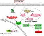 Oxidative stress-mediated cytotoxicity and metabolism of T-2 toxin and deoxynivalenol in animals and humans: an update. - Global Medical Discovery