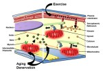 Cytoskeletal regulation of mitochondrial movements in myoblasts. - Global Medical Discovery