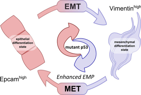 Mutant p53 promotes epithelial-mesenchymal plasticity and enhances metastasis in mammary carcinomas of WAP-T mice