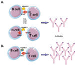 The Role of Metalloproteinase ADAM17 in Regulating ICOS Ligand-Mediated Humoral Immune Responses- . Global Medical Discovery