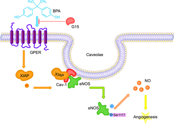Bisphenol A promotes X-linked inhibitor of apoptosis protein-dependent angiogenesis via G protein-coupled estrogen receptor pathway. Global Medical Discovery