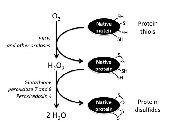 Composition of the redox environment of the endoplasmic reticulum and sources of hydrogen peroxide