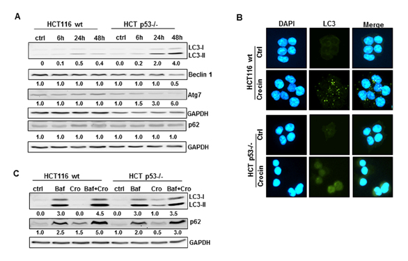 Defective Autophagosome Formation in p53-Null Colorectal Cancer Reinforces Crocin-Induced Apoptosis. Global Medical Discovery