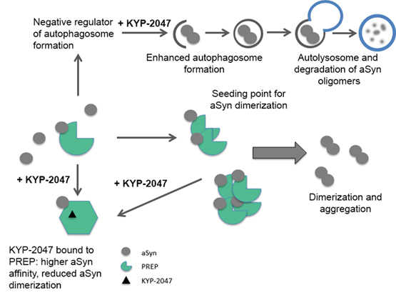 Prolyl Oligopeptidase Enhances α-Synuclein Dimerization via Direct Protein-Protein Interaction. Global Medical Discovery
