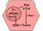 Rac1 promotes diethylnitrosamine (DEN)-induced formation liver tumors