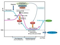 Emerging roles of hypoxia inducible factors and reactive oxygen species in cancer and pluripotent stem cells. Global Medical Discovery