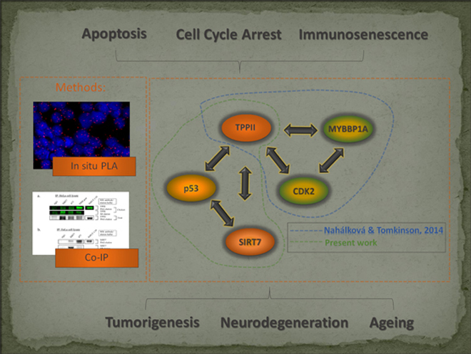 Novel protein-protein interactions of TPPII, p53, and SIRT7. Global Medical Discovery