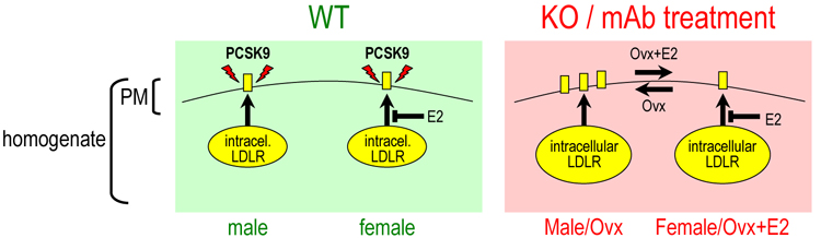 PCSK9 unmasks a sex- and tissue-specific subcellular distribution of the LDL and VLDL receptors in mice