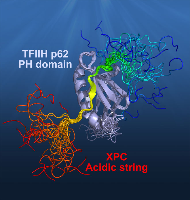 Structural Insight into Mechanism of TFIIH Recognition by Acidic String of Nucleotide Excision Repair Factor XPC. Global medical discovery