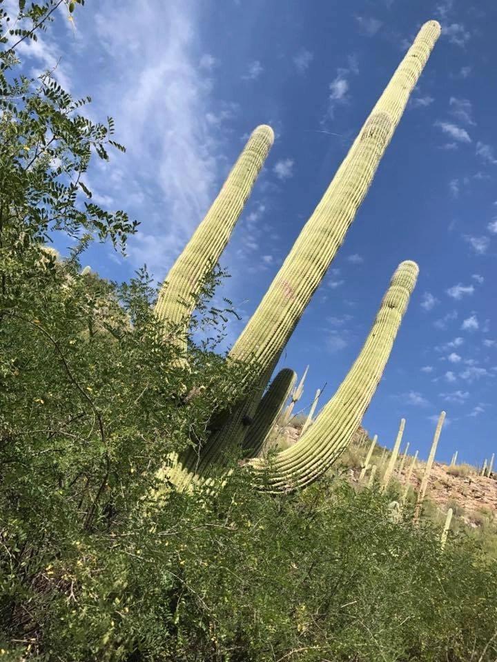 Saguaro Cactus at Loews Ventana Canyon Resort in Tucson